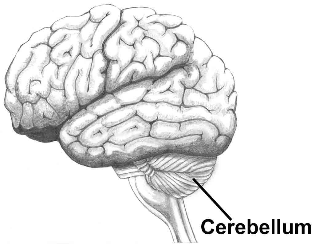 Index of /afs/cs/academic/class/15883-f13/lectures/cerebellum-anatomy